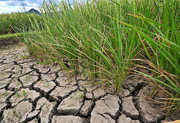 thesis on drought tolerance in rice