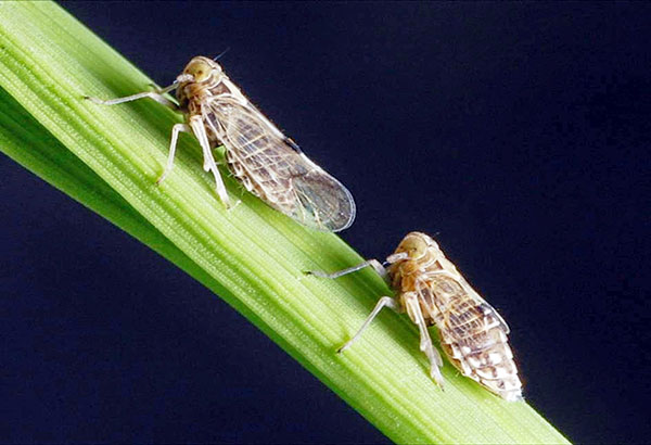 Brown planthoppers
