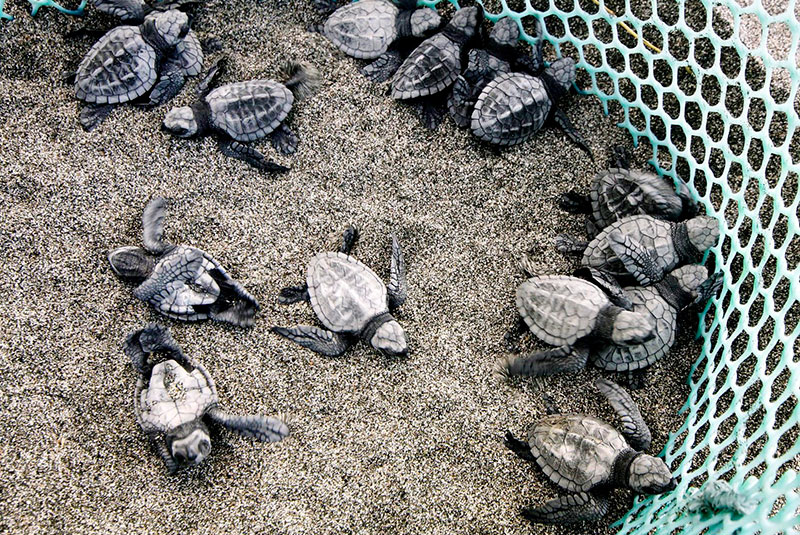 Photos  show a sea turtle hatchling dashing to sea; hatchlings less than an hour old; and a nesting site on San Juan beach.