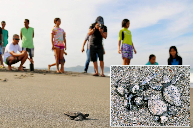 An olive ridley sea turtle is freed by conservationists an hour after being hatched in Ili Norte, San Juan, La Union. Inset shows hatchlings up close on the sand. Facebook has become a favorite instrument of wildlife trafficking in the Philippines, according to a monitoring group. Carlos Tamayo