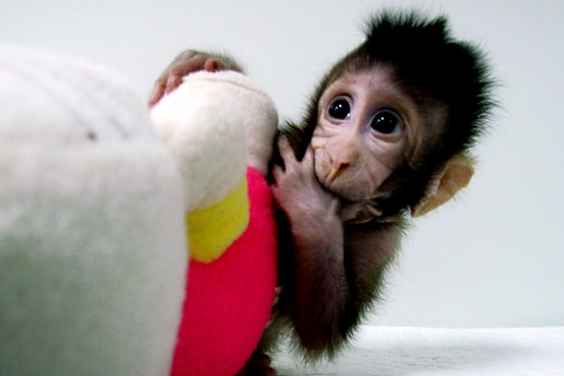 These Baby Monkeys Are the First Primates to Ever Be Cloned