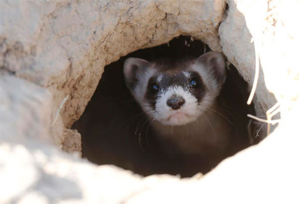 In this Oct. 5, 2015, file photo, a black-footed ferret looks out of the entrance to a prairie dog tunnel after being let loose during a release of 30 of the animals by the U.S. Fish and Wildlife Service at the Rocky Mountain Arsenal National Wildlife Refuge in Commerce City, Colo. The endangered weasel is returning to an area of western Wyoming where the critter almost went extinct more than 30 years ago. Biologists plan to release 35 black-footed ferrets Tuesday, July 26, 2016, near Meeteetse, Wyo. Scientists thought the black-footed ferret was extinct until a dog brought a dead one home near Meeteetse in 1981. AP/David Zalubowski