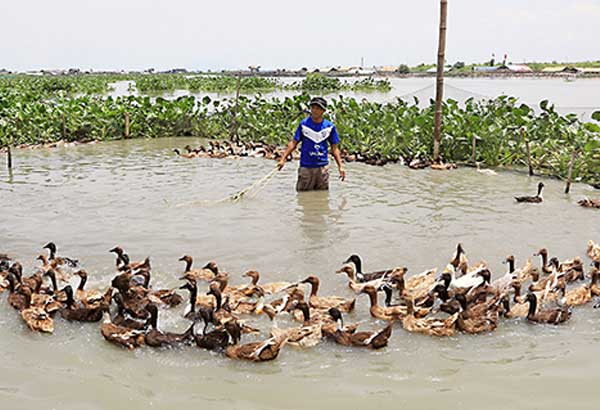 A man tends to ducks at a farm in Laguna de Bay in Taguig yesterday. Duck raisers have expressed alarm over the spread of avian flu in Luzon, saying many buyers have cancelled orders for eggs and balut. EDD GUMBAN