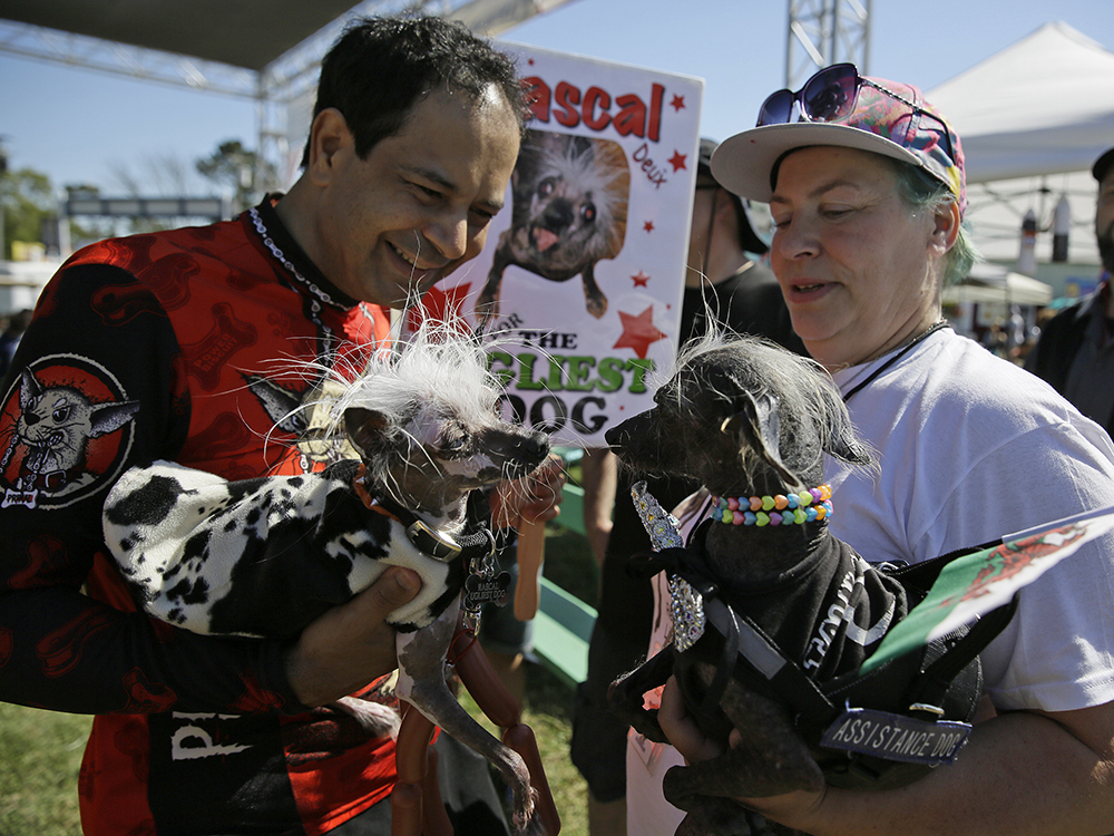 Rascal, left, a Chinese Crest, held by Dane Andrew of Sunnyvale, Calif., meets Chase, right, a Chinese Crested Harke, held by Storm Shayler, right, of Britain, before the start of the World's Ugliest Dog Contest at the Sonoma-Marin Fair Friday, June 23, 2017, in Petaluma, Calif. AP/Eric Risberg