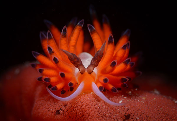 Cem Gazivekili's winning photo, first prize in the Nudibranch category of the 5th Anilao Underwater Shootout