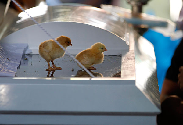 The family of Mark Angelo Diego placed chicks on his coffin during his wake in Taguig City yesterday.      Krizjohn Rosales