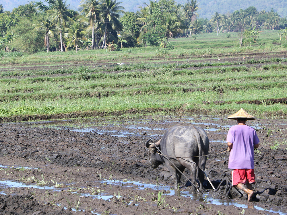 Agrarian reform beneficiaries in Barangay Limook in Lamitan City are now having bumper harvests with the help of different government agencies. Philstar.com/John Unson