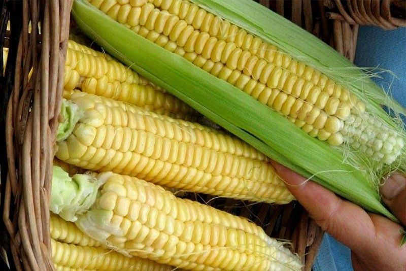 Pinoy biotech corn rowers earn $724 million from 2003-2016