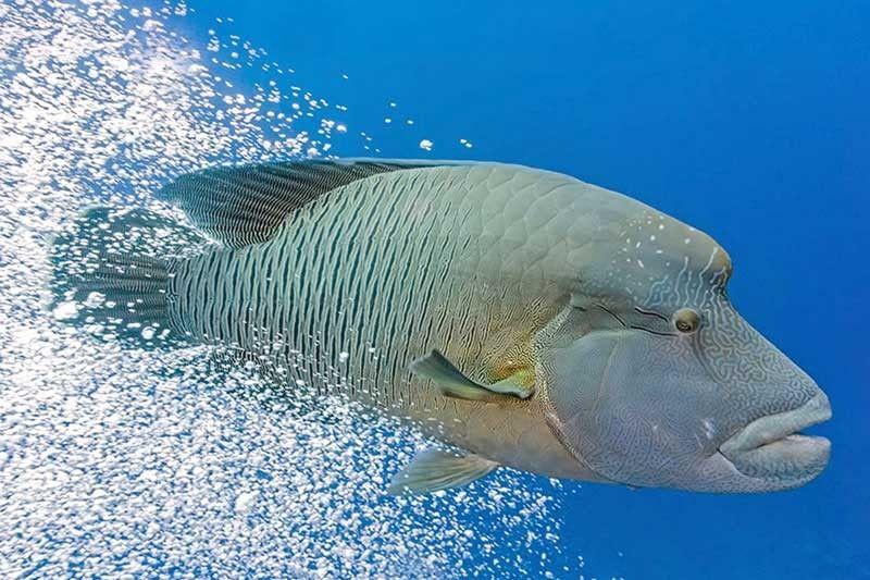 diverse stijlen gedetailleerde foto's de beste houding Coral reef fish declared flagship species of Apo Reef ...