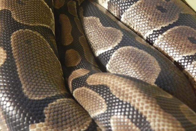 Indonesian woman swallowed by giant python | Philstar com
