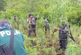 The marijuana plants, shown in this police photo, were planted along hills in Barangay Danlag, Tampakan.