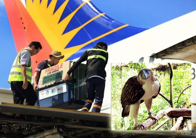 2 Philippine Eagles flown  to Singapore  sanctuary