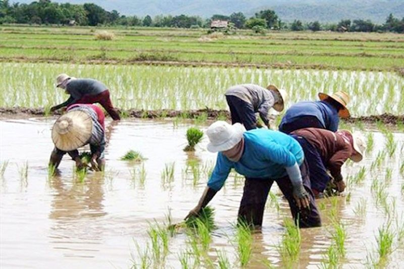 Safeguards needed to protect rice farmers