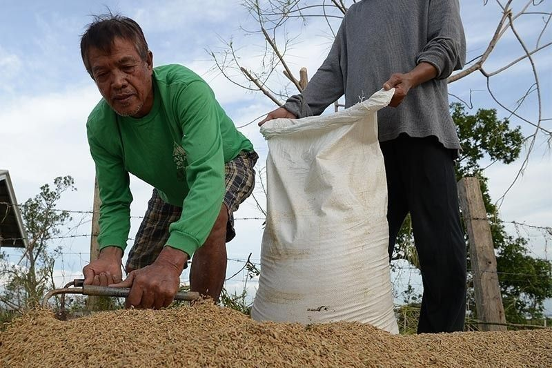 NFA continues buying more palay
