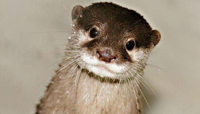 The Asian small-clawed otter in Palawan is the only known otter species in the country, locally known as �dungon,� �pangkat-pangkatan� or �fisher dog.�