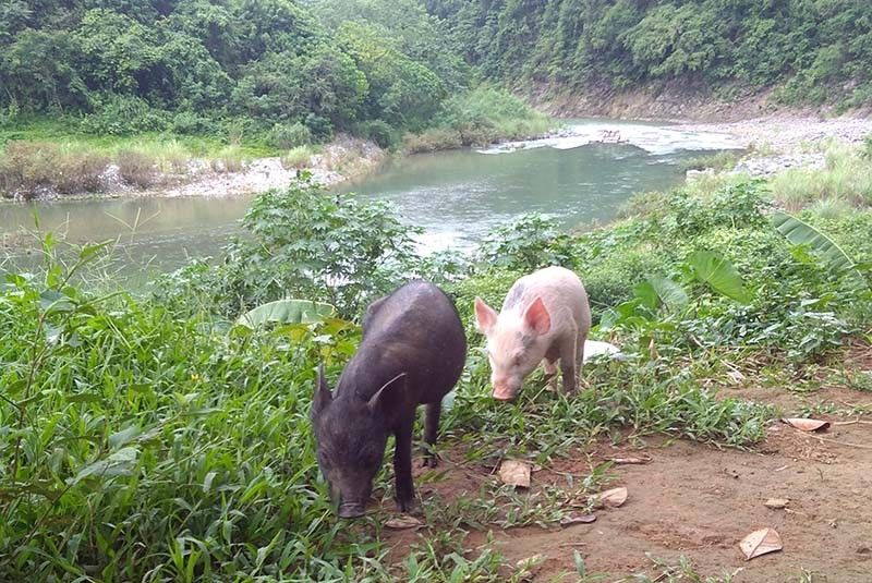 36,000 hogs lost to African swine fever as more areas affected