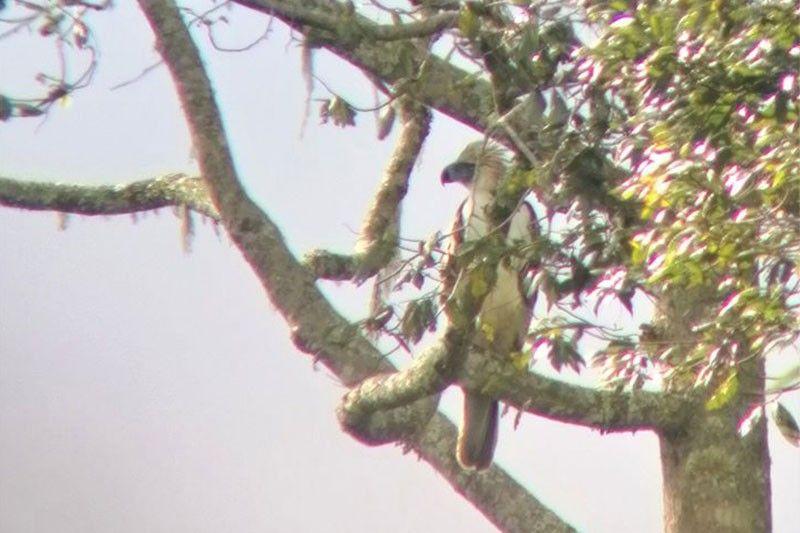 Philippine Eagle found in Mt. Apo