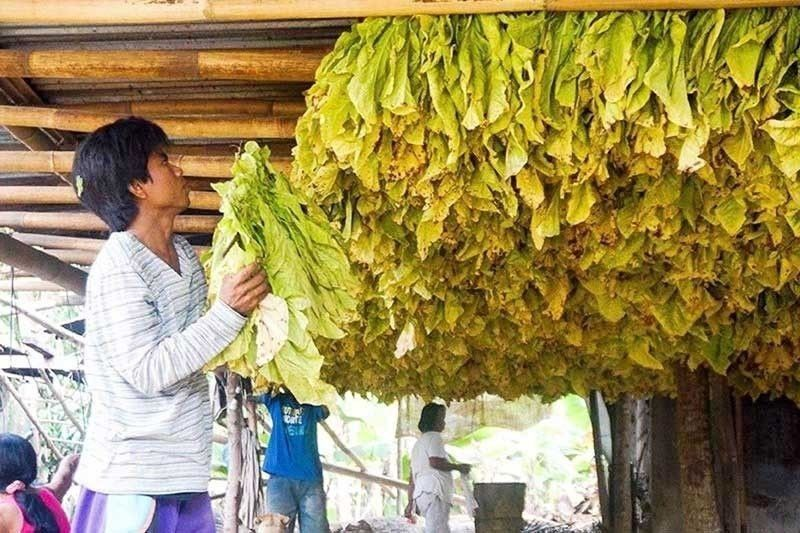 Government hikes buying prices for tobacco leaves
