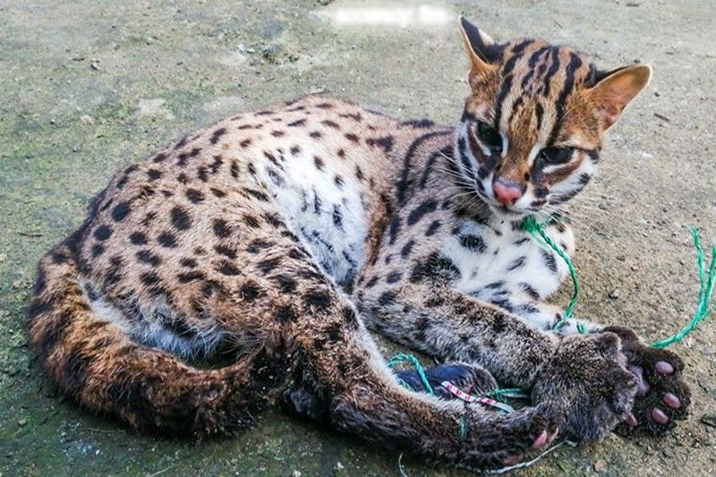 Trapped leopard cat rescued and released in Masbate