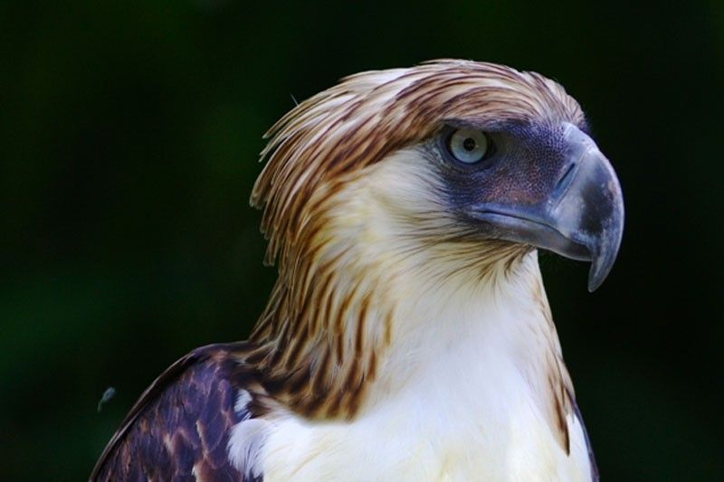 Philippine Eagle released in Aurora missing
