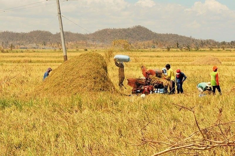 Lower palay harvest seen in Q1