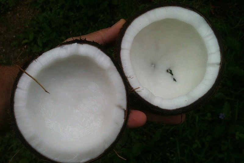 Virgin coconut oil found 'very promising' in COVID-19 prevention, management