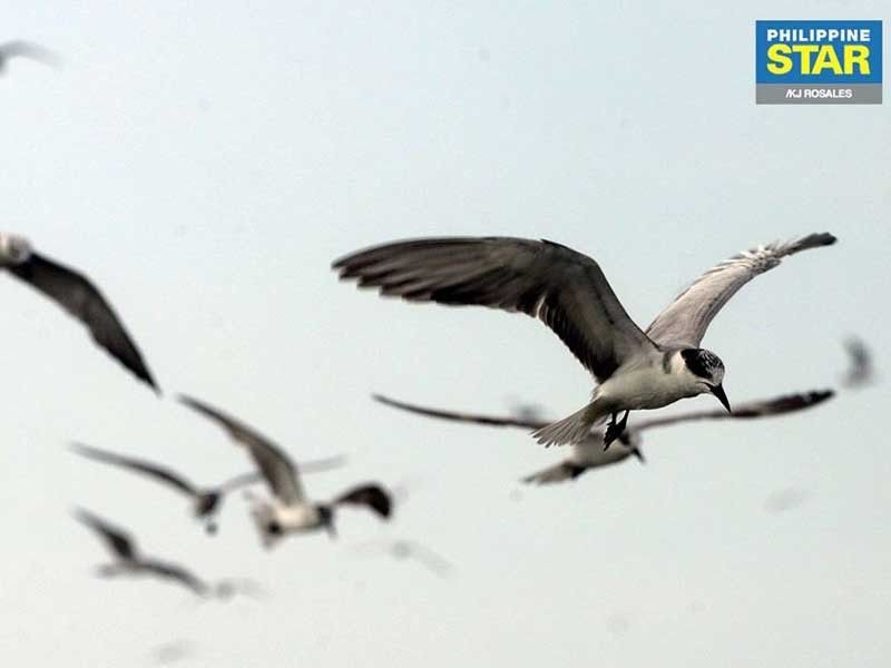 Bulacan airport project seen to affect endangered, vulnerable migratory birds