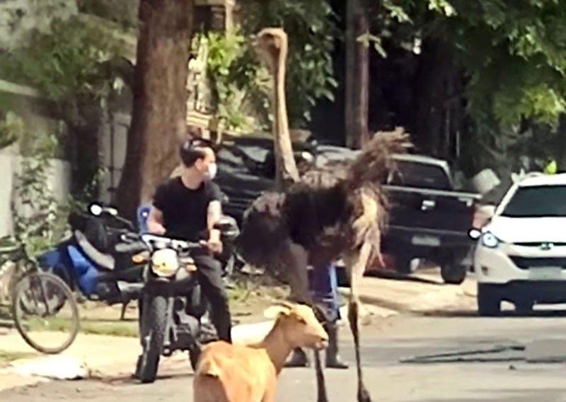 2 ostrich, nakitang pagala-gala sa Quezon City subdivision