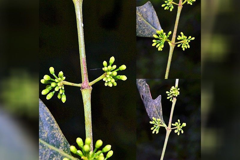 New plant species discovered in Pampanga