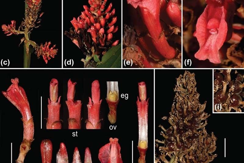New ginger species discovered in Mindanao
