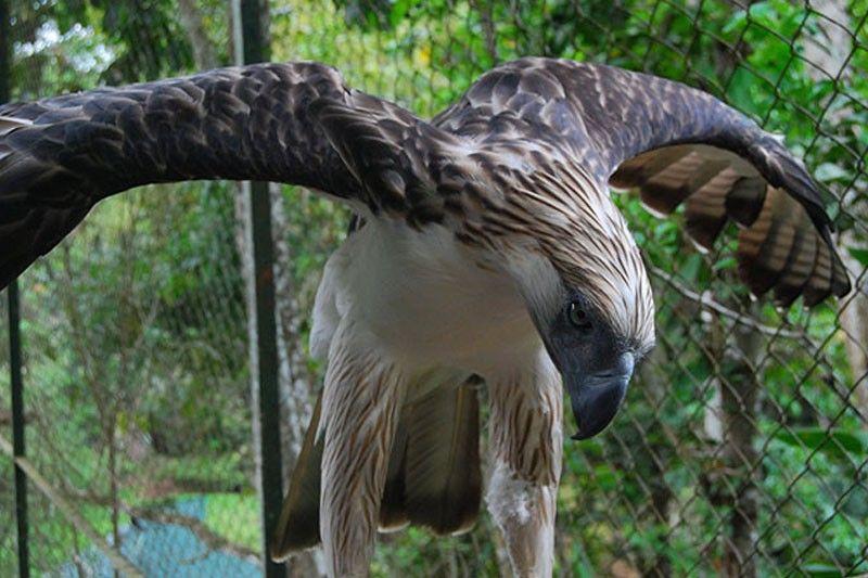 Philippine Eagle na si �Pag-asa� namatay na