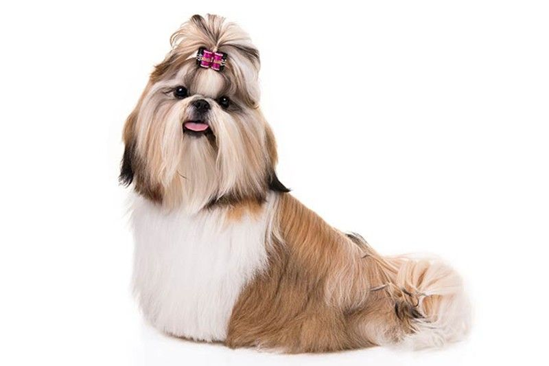 Shih Tzu is most popular dog breed in Philippines � study