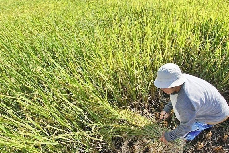 PhilRice notes improved rice production in 2020