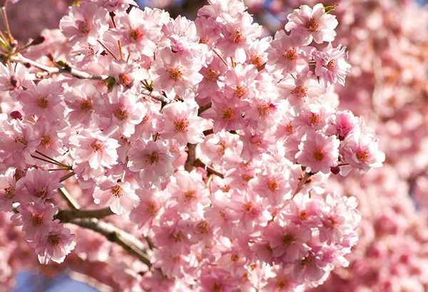 Tickled pink: It's now cherry blossoms season in these Philippine places