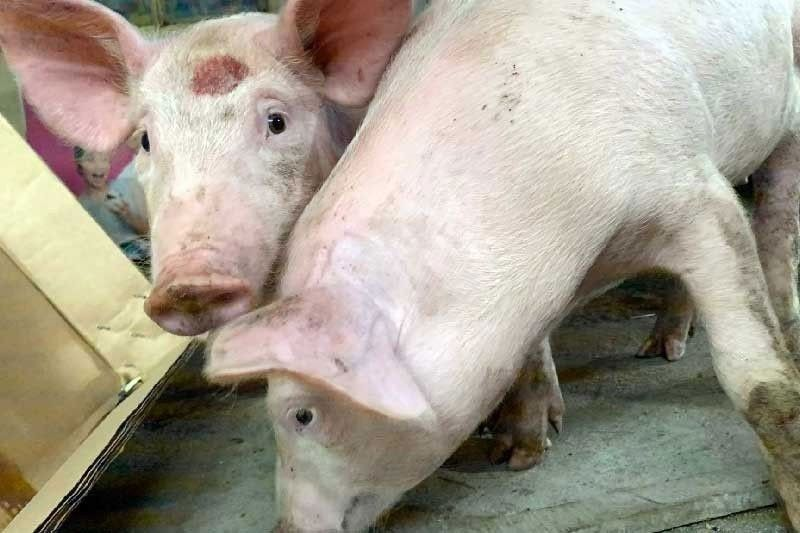 Hog raisers outraged; importers welcome lower tariffs
