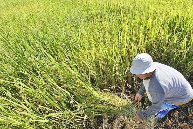 Palay output grows by 7.2% in Q1 � PSA