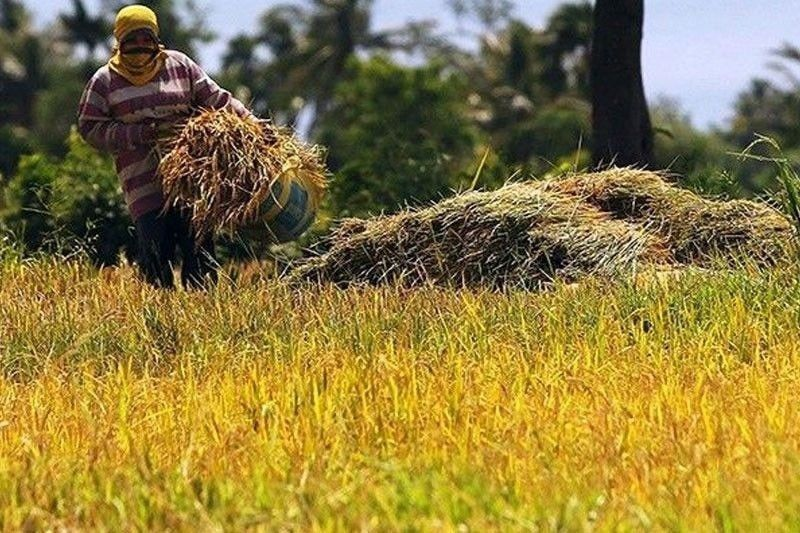 Farmers see continued drop in palay prices